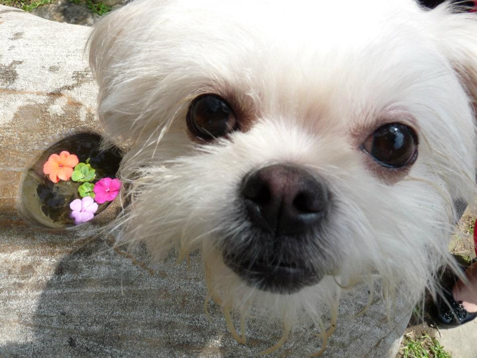 Maltese Close up (dog)